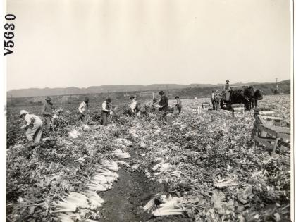 Agricultural workers harvesting celery in Los Angeles County, undated, General Subjects Photography Collection