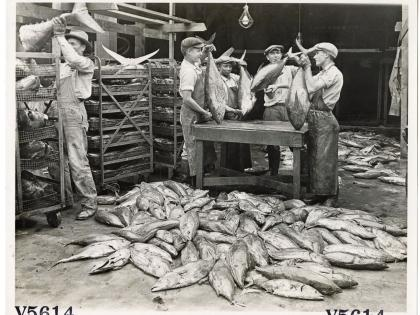 Workers cleaning tuna fish for cannery, Los Angeles, General Subjects Photography Collection